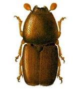 scolytus multistriatus