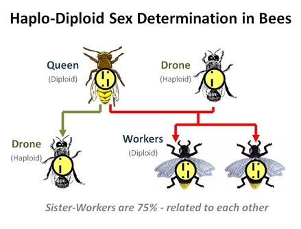 Haplo-Diploid