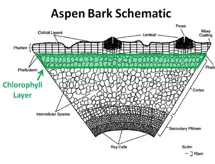 Aspen Bark Schematic CLayer