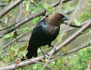 WN_BrownHeadedCowbird_Beckemeyer_051707