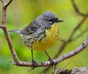 kirtlands-warbler