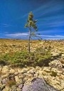 080414-oldest-tree_big