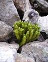 Huperzia_selago_Lycopodiaceae