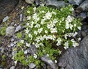 Cerastium_uniflorum_Caryophyllaceae