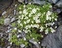 Cerastium_uniflorum_Caryophyllaceae