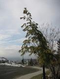 Mystery Pine