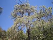 Pinus Lumholzi