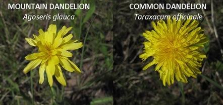 Dandelion compare