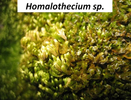 Homalothecium Closeup