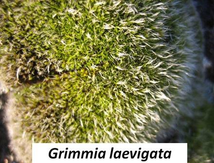 Glaevigata closeup