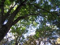 Big oaks in arroyo on C Pinones
