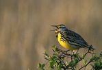 Western meadowlark