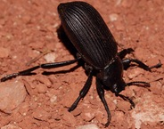 darkling beetle2