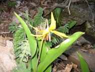 Glacier Lilly 3 29 08b
