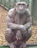 Bodybuilderchimp