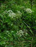 Cicuta_maculata_plant