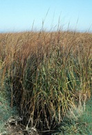 smoothCordgrass2