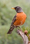 american_robin_2006