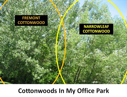 Both Cottonwoods