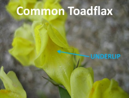 Toadflax Underlip