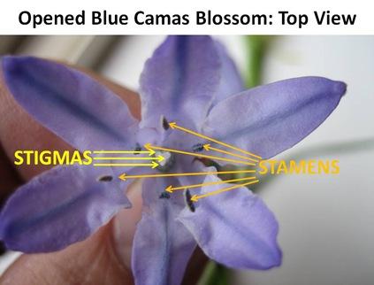 Blue Camas Top View