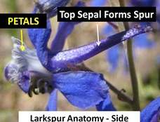 Larkspur Sideview caption