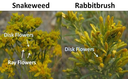 Snakeweed Rabbitbrush Flower closeup
