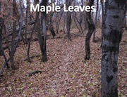 Maple trail