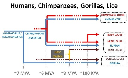 Evo Chimp Human Gorilla Lice cut