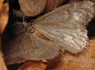 Mill Creek Moth