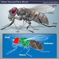 housefly-anatomy