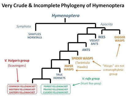 Hymenoptera crude phylogeny