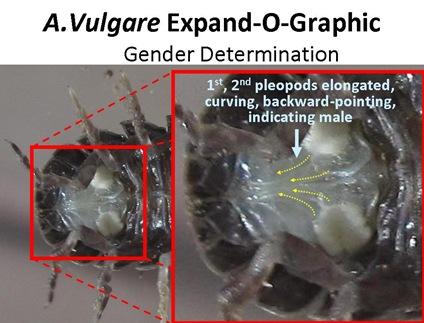 ExpandO Gender