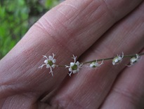 Mystery Saxifrage Flower