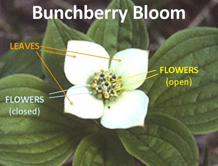 Bunchberry Caption