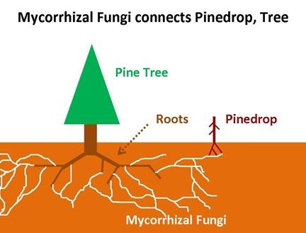 Myco-pinedrop