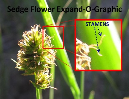 Sedge Flower ExpandO