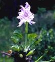 water_hyacinth_01