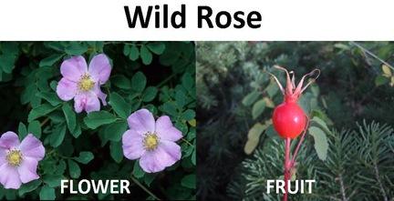 Wild Rose compare