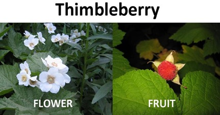 Thimbleberry compare