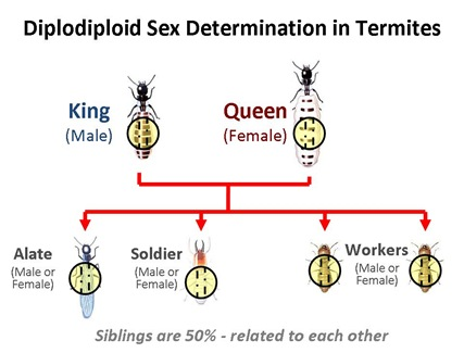 Diplo Termites