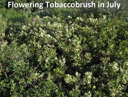Flowering TBrush