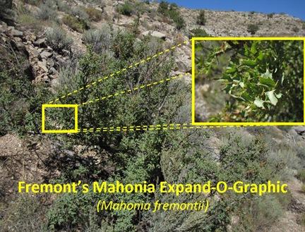 Mahonia Expand-O