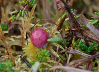 Bog Cranberry  (Vaccinium oxycoccos)