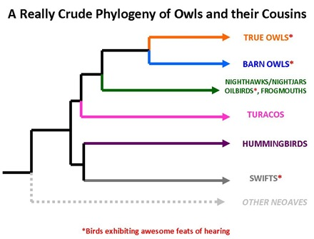 Owl Phylogeny