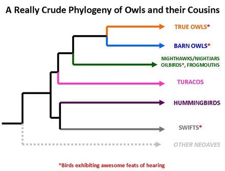 Owl Phylogeny
