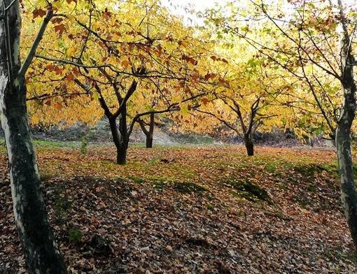 Fundão - cerejeiras 1