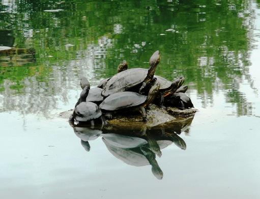 18.templo Toji - tartarugas