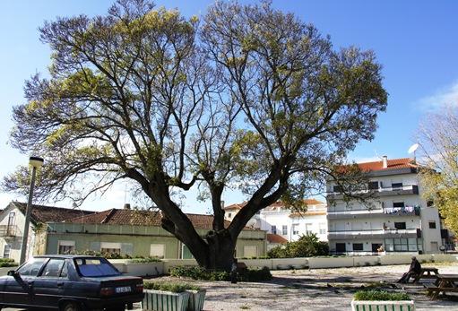 Figueira da Foz - Freixo de Santo Antonio - mais de 300 anos de idade