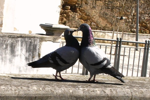 Alcobaça - pombas ao lado do rio Alcôa